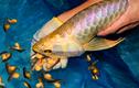 """Kinh ngạc loài cá """"nhà nghèo"""" đắt nhất hành tinh, giá cả tỷ đồng"""