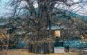 Ngôi chùa ngàn năm tuổi bỗng dưng nổi tiếng chỉ vì loài cây này