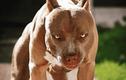 Hàm của chó Pitbull khỏe cỡ nào khiến đối thủ e dè run sợ?