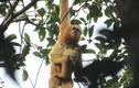 2 loài linh trưởng quý hiếm sao được giám sát nghiêm tại Pù Hoạt?