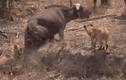 """Video: Trâu rừng gặp nạn, """"500 anh em"""" lao tới uy hiếp sư tử"""