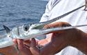 Giật mình loài cá nhỏ nhắn nhưng nguy hiểm bậc nhất thế gian