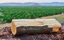 Sửng sốt loại gỗ đắt nhất nhì thế giới mọc đầy ở Việt Nam