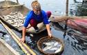 Cá chết trắng sông Châu Giang, người dân điêu đứng