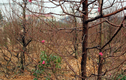 Hoa đào Nhật Tân bung vỏ trấu, đón chào xuân mới