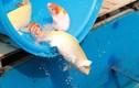 Cận cảnh cá chép Nhật Bản bơi ở sông Tô Lịch