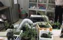 Thanh niên Mường La xuống Hà Nội trồng cần sa trong phòng trọ