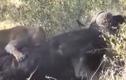 Video: 2 sư tử tấn công, trâu rừng phản đòn gây sững sờ