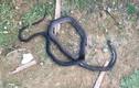Bị rắn hổ mang dài 2,5m cắn, người đàn ông tử vong