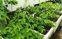 """Phát thèm vườn rau trên sân thượng của """"soái ca"""" Hải Dương"""