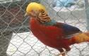 Những giống chim khiến đại gia Việt không ngại chi tiền