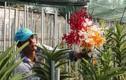 Hóc Môn: Trồng hoa lan đạt lợi nhuận tới 700 triệu đồng/ha