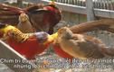 Video: Chiêm ngưỡng đàn chim trĩ 7 màu quý hiếm ở Hải Dương