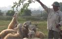 Video: Cận cảnh đàn cừu 20 con chuyên làm mẫu ở Hà Nội