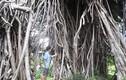 """Ngắm những """"cây thần"""", tiền tỷ cũng không mua nổi ở Sài Gòn"""