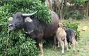 """""""Mục sở thị"""" con trâu cái sinh cùng lúc 2 con nghé đực ở Nghệ An"""