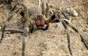 """""""Nhện lang thang Brazil"""", một trong những loài nhện độc nhất hành tinh"""