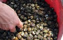 """Lật từng viên đá bắt """"lộc biển"""" kiếm nửa triệu đồng mỗi buổi"""
