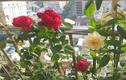 Ban công chỉ 2m2 nhưng đủ loại hoa thơm quả ngọt của cô gái Sài Gòn