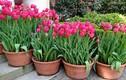 Trồng và chăm sóc hoa Tulip cho hoa nở đẹp như ý muốn