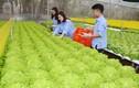 Mướt mắt trại rau thủy canh hiện đại đầu tiên ở miền núi Yên Bái