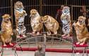 Video: Hổ, sư tử béo núng nính diễn xiếc như hề ở Nga