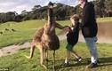 Video: Đến gần cho kangaroo ăn, bé trai Úc không ngờ dính đòn nhớ đời