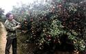 Bỏ phố thị về trồng cam Canh: Anh nông dân đón Tết hơn 3 tỷ đồng