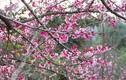 Video: Chiêm ngưỡng 19 loại hoa anh đào nở rộ đẹp ngỡ ngàng ở Điện Biên