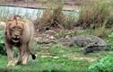 Video: Sư tử vả vào mặt cá sấu khổng lồ vì dám tranh ăn
