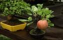 Ngắm chậu bonsai mini siêu đẹp hút khách dùng trang trí nhà dịp Tết