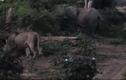Video: Sư tử vồ voi con, voi mẹ giận dữ tung đòn nghênh chiến