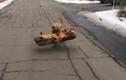 Video: Kinh ngạc với chú chó tha khúc gỗ cực nặng làm đồ chơi