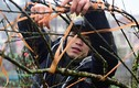 Đào rừng Sa Pa nở sớm, giá tăng cao bất ngờ