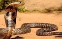 """Video: Cầy mangut """"thôi miên"""", ăn tươi nuốt sống hổ mang chúa 3 mét"""