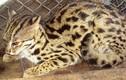 Video: Mèo rừng quý hiếm có bộ lông báo gấm vừa xuất hiện ở Hà Tĩnh