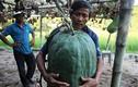 Vùng đất cứ trồng bí đao xuống là có quả to 50kg, 100kg