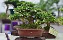 Ngắm bonsai mini đắt đỏ dành cho nhà giàu