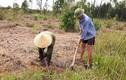 """Đào rễ cỏ dại có tác dụng như """"thần dược"""", kiếm nửa triệu/ngày"""