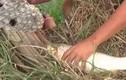 Video: Giật cá mỏi tay nhờ mồi câu bằng tổ ong vò vẽ