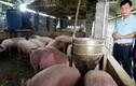 Nuôi lợn sinh học, chả sợ bệnh dịch, giá thấp vẫn lãi nửa tỷ mỗi năm