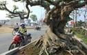 Nhiều cây sung dáng kỳ quái, giá bạc tỷ xuất hiện ở Hà Nội