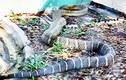 Video: Tay không bắt được rắn hổ vện nặng 4,5kg, dài hơn 3m ở Sài Gòn