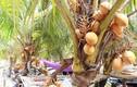 """Video: """"Đột nhập"""" vườn trái cây trồng dừa và ổi 2 màu siêu lạ ở Sài Gòn"""