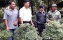 Gia Lai: Trồng đinh lăng xen cây ăn quả, lãi 200 triệu đồng
