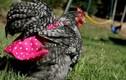 Video: Kiếm tiền tỷ nhờ sản xuất bỉm thời trang cho... gà
