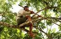 Xem người dân mưu sinh leo hàng chục mét để thu hoạch trám
