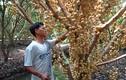 Ghé thăm vườn dâu lãi nửa tỷ đồng ở Hậu Giang