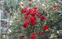 Vườn hồng vài nghìn gốc siêu quý của hot girl 8x Thái Nguyên
