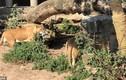 Video: Chim diệc chết thảm vì bay vào chuồng sư tử